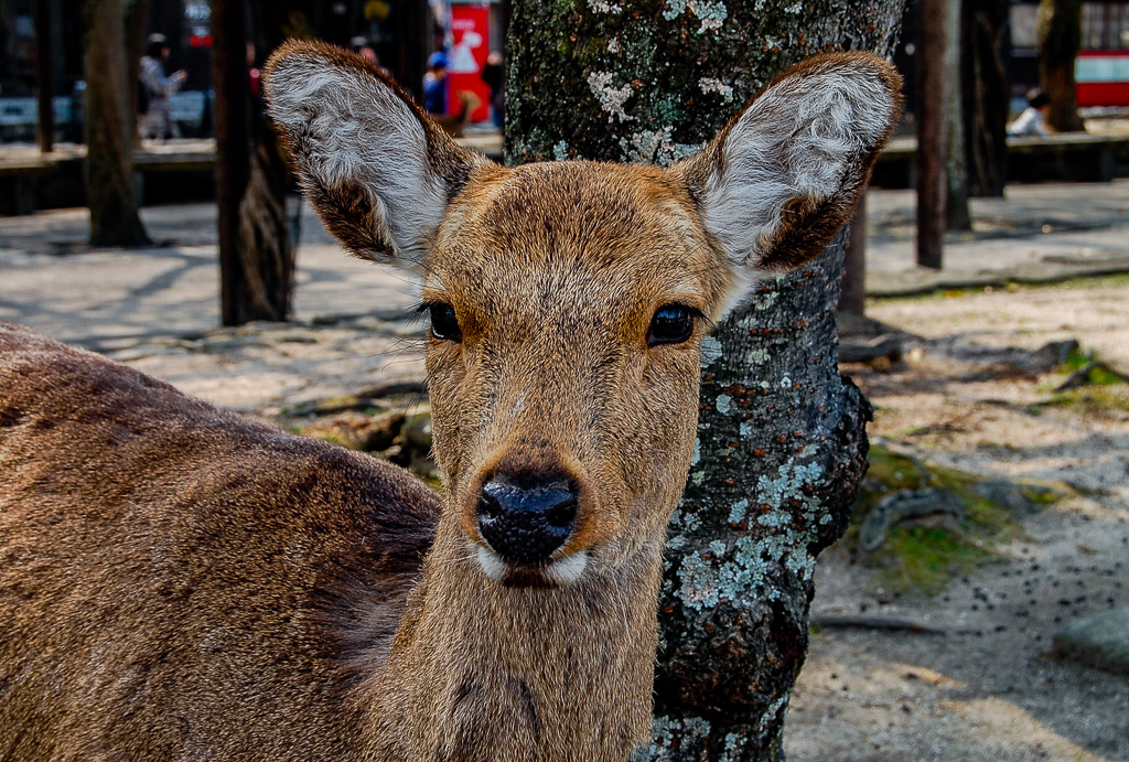HOW TO SEE WILD MONKEYS AND DEER IN JAPAN